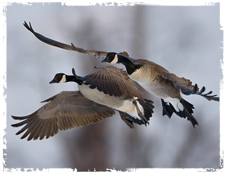 c1d4007896 We Specialize in Canada Goose Hunting in Maryland, Delaware and New Jersey